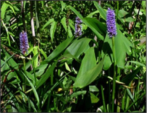 Pickerel Weed (Native Plant)
